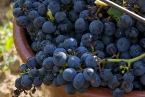 Raisins du vignoble gaillacois © CDT
